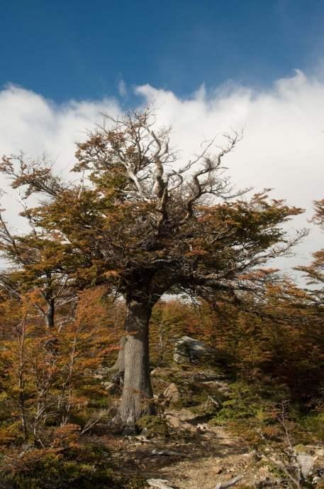 arbre patagonie