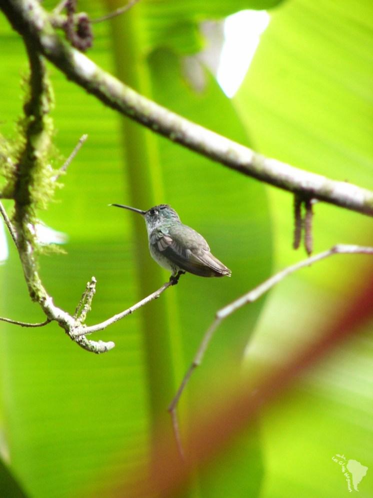 colibri mindo