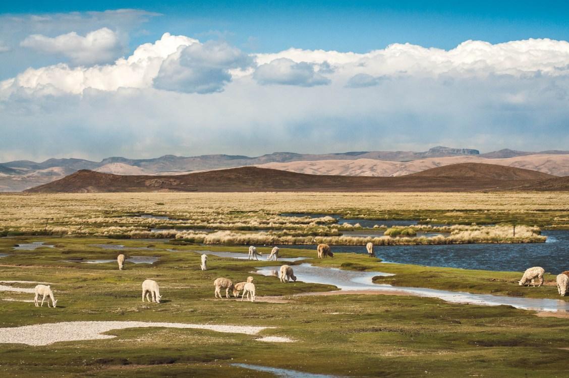 altiplano lama