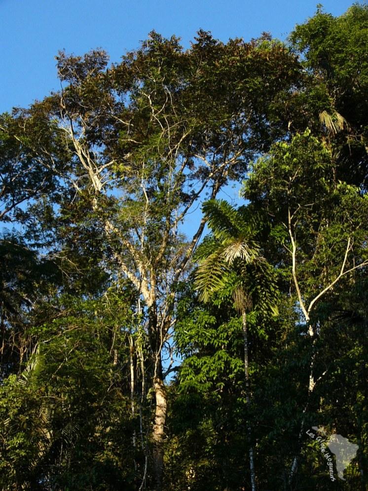 Arbre amazonie