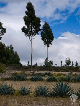 eucalyptus équateur