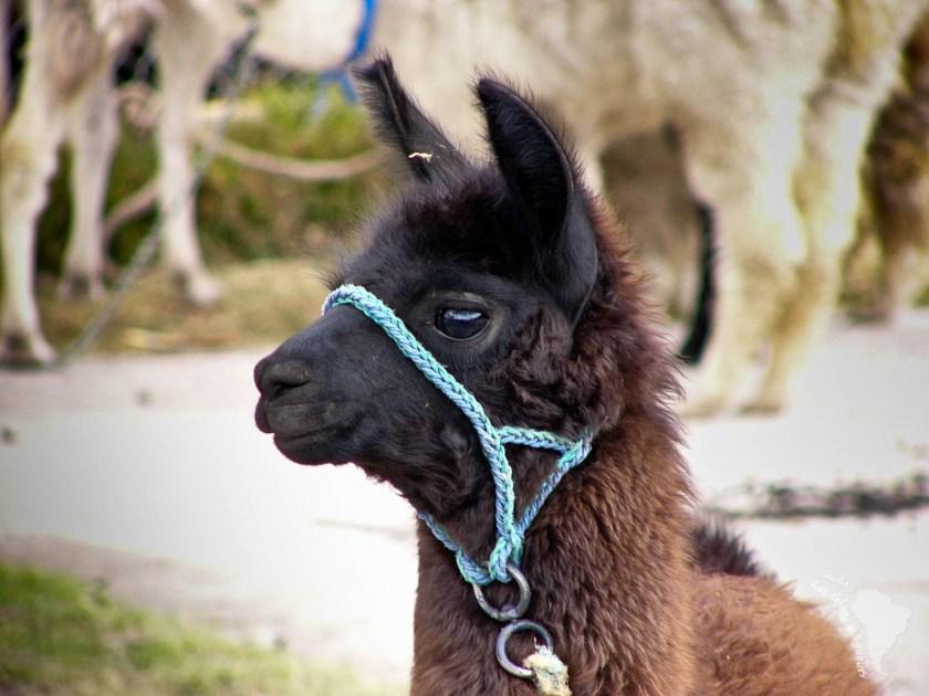petit lama