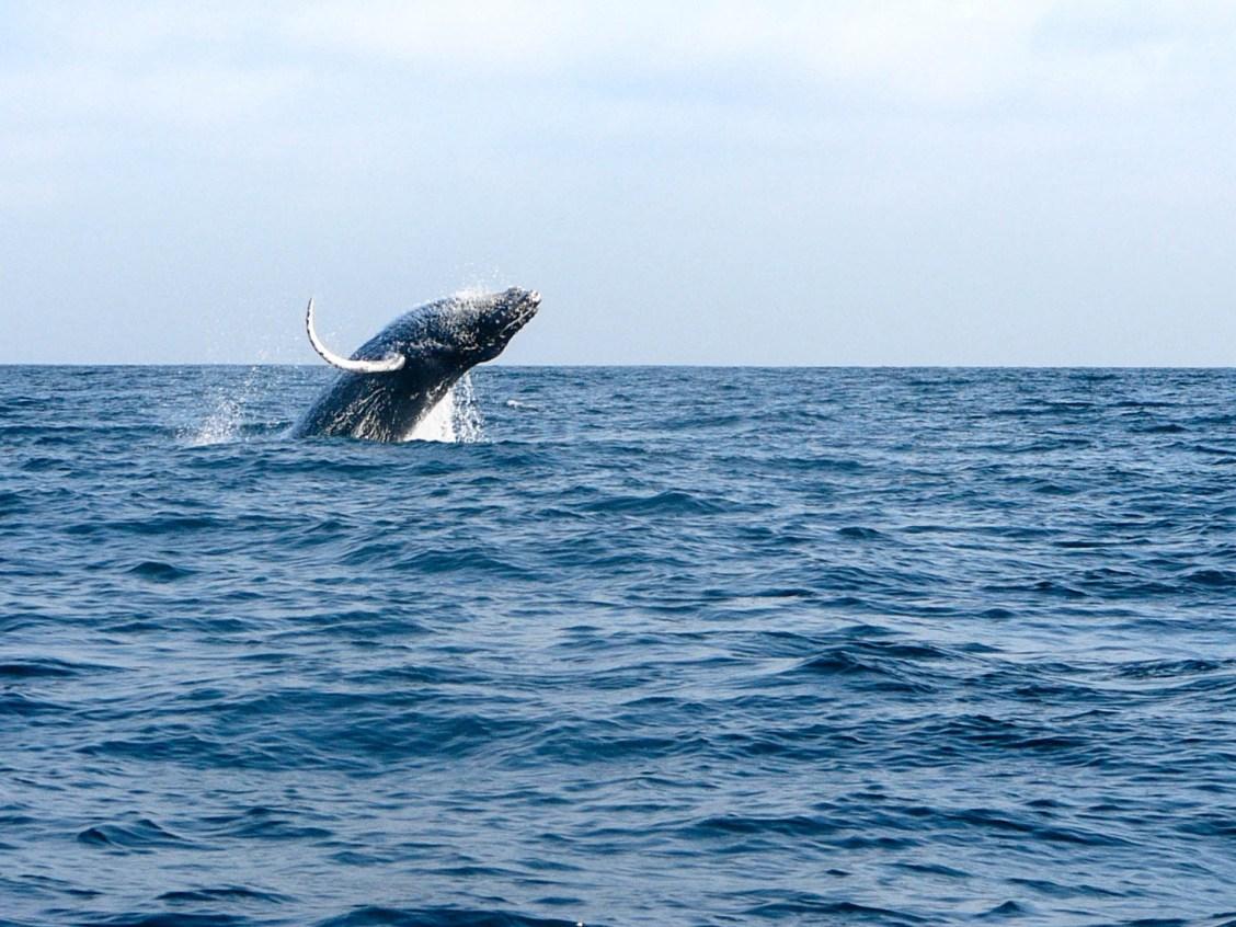 Saut de la baleine à bosse