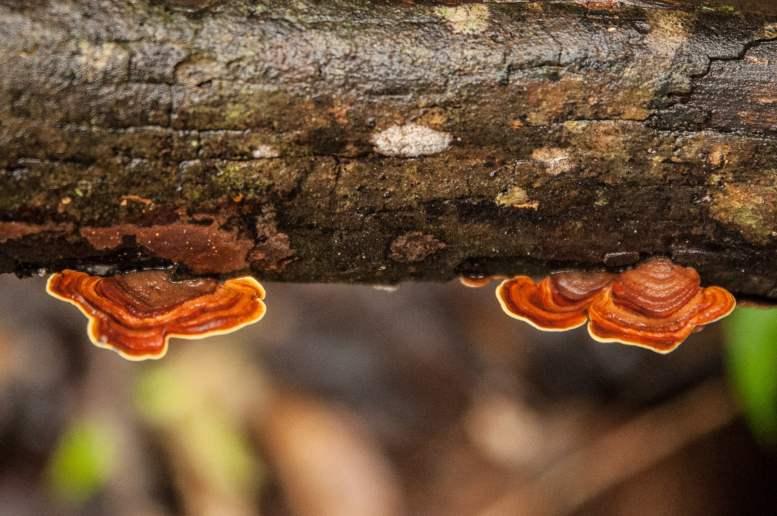 champignons ranomafana