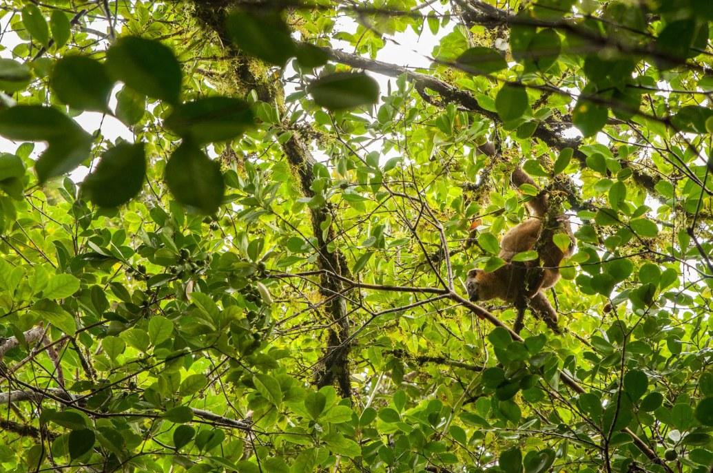 lémuriens branche ranomafana
