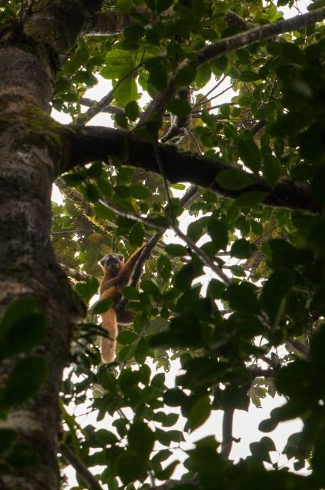 lémuriens cache cache ranomafana