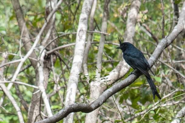 oiseau huppé isalo