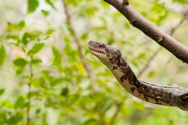 serpent branche isalo