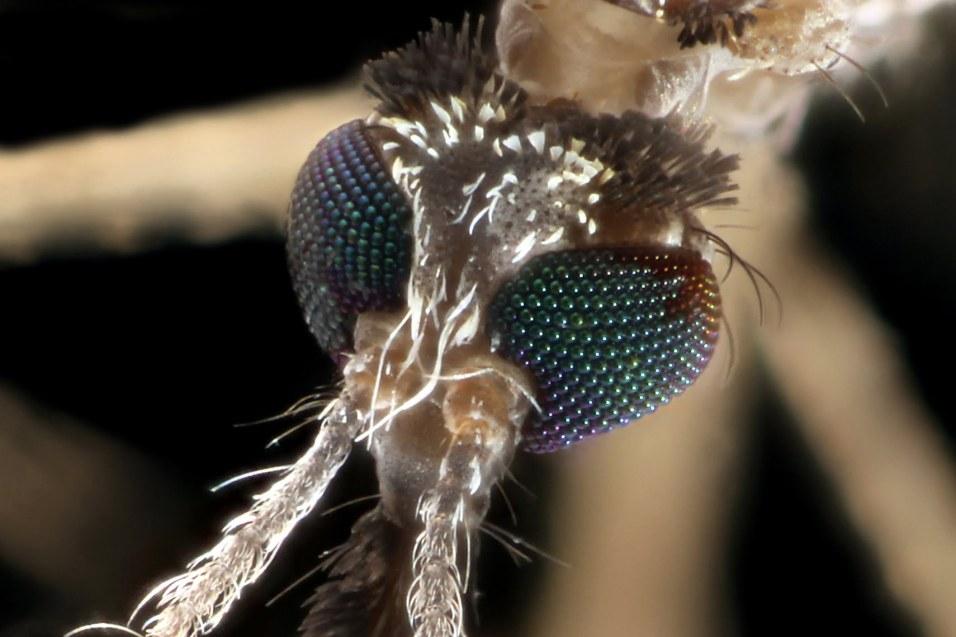 yeux moustique macro