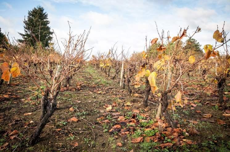 vignes hiver