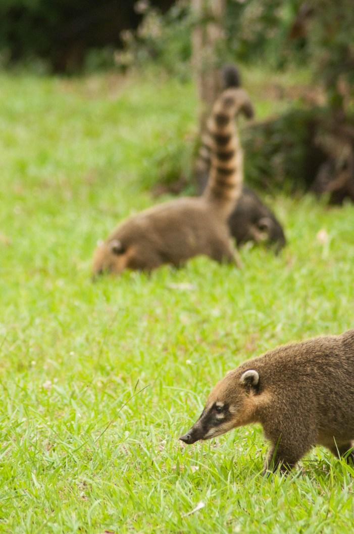 Un groupe de coati qui inspecte