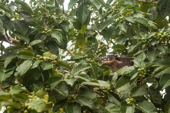 Un coati à la recherche de fruit