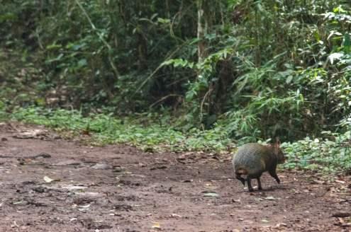 Un agouti en fuite. Parc national des chutes d'Iguazu