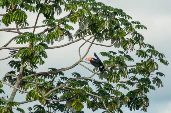 Toucan qui rejoint son arbre
