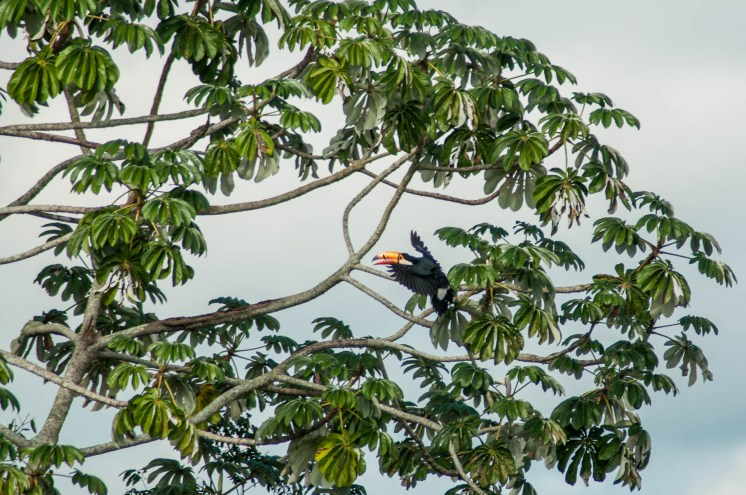 Toucan qui rejoint son arbre