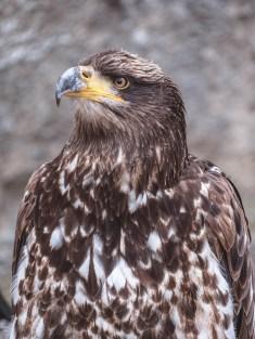 Aigle au château de Bouillon