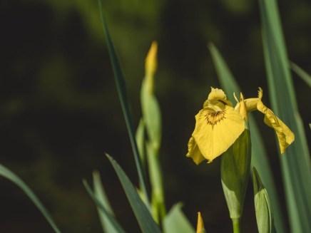 parc ardennes iris