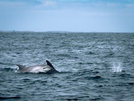 bébé dauphin parc maritime d'iroise bretagne