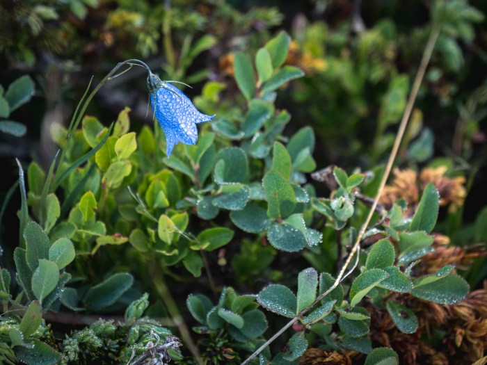 fleur vallon de Réchy