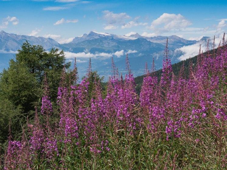 fleurs et montagnes du val d'herens