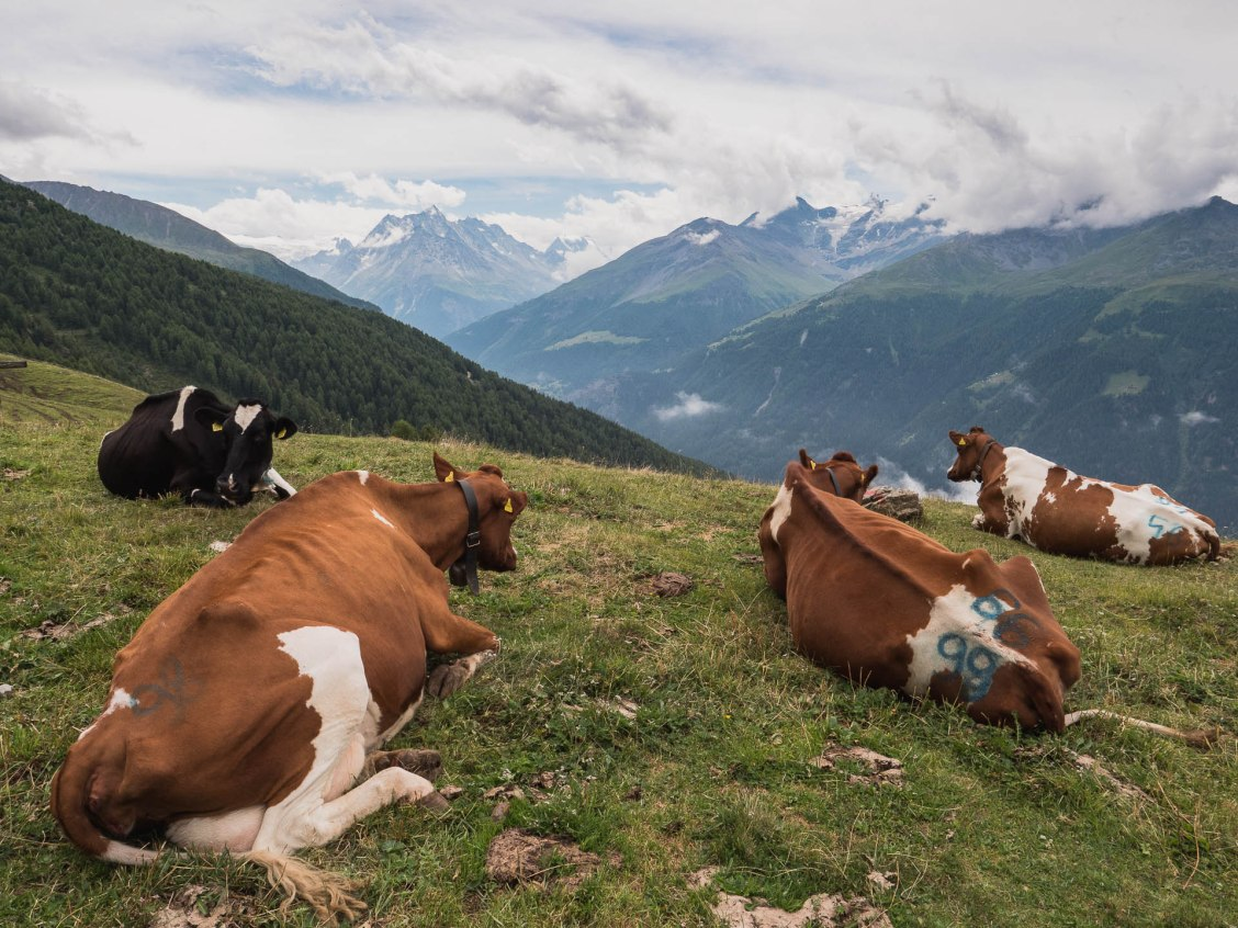 val dherens alpage vaches