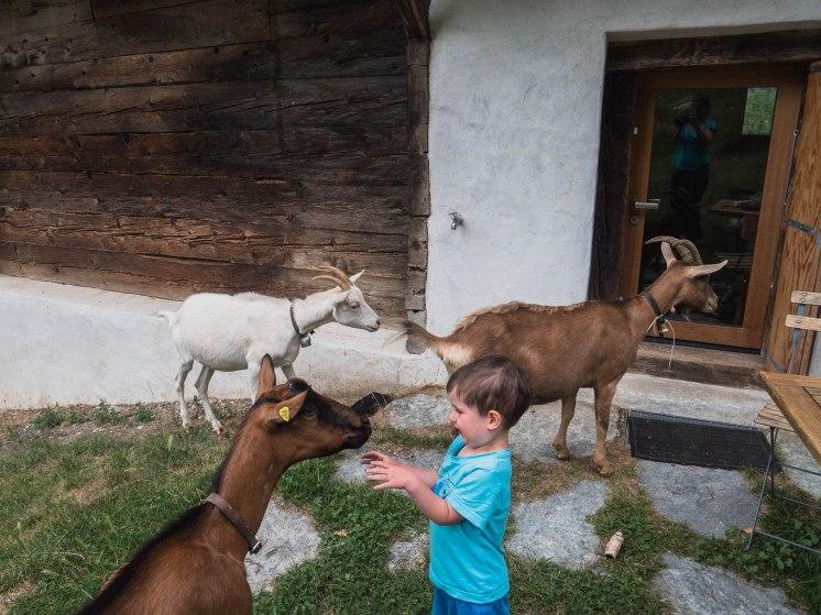 chèvres ossona