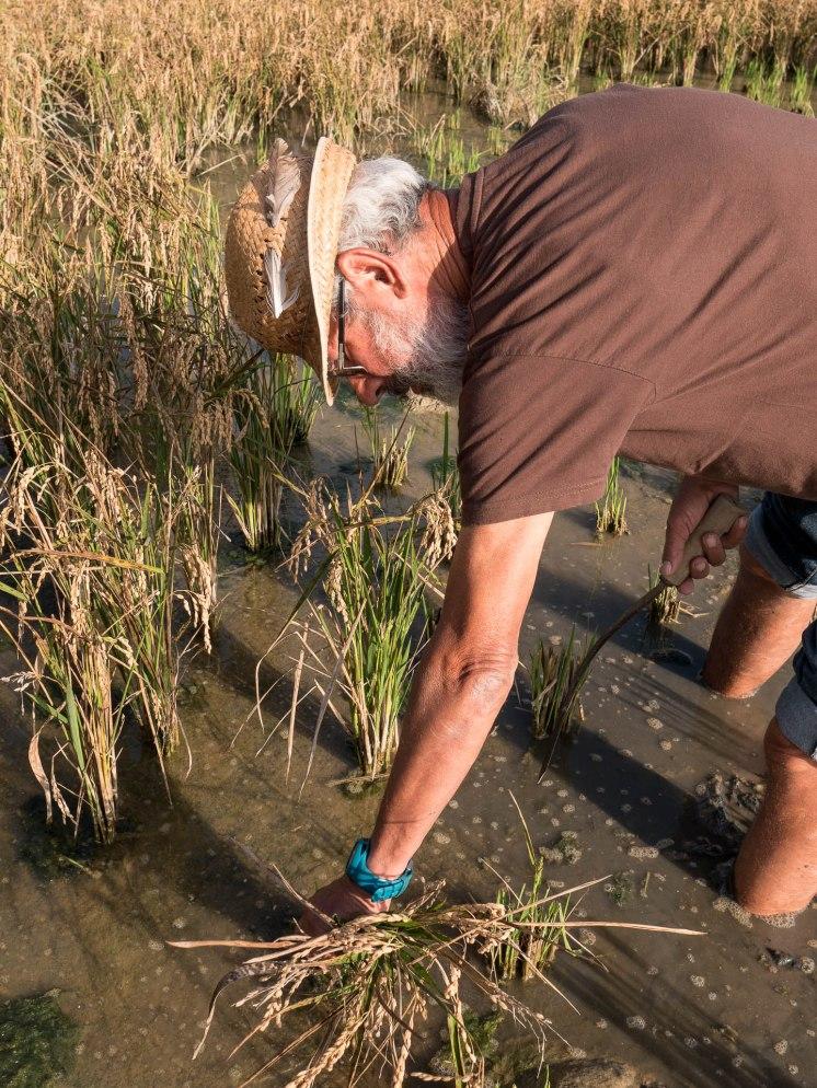 culture du riz delta de l'ebre catalogne