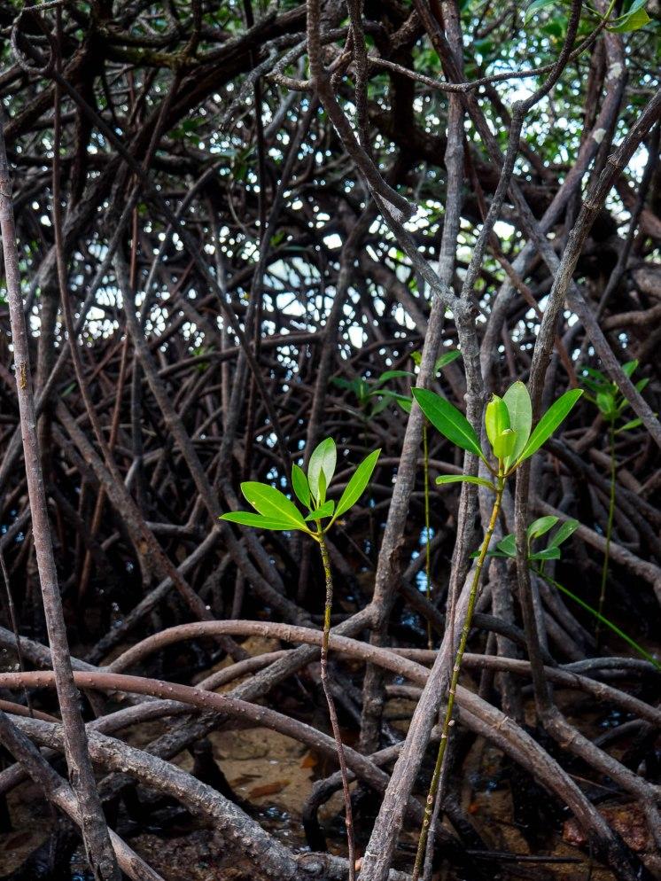 coron plante mangrove