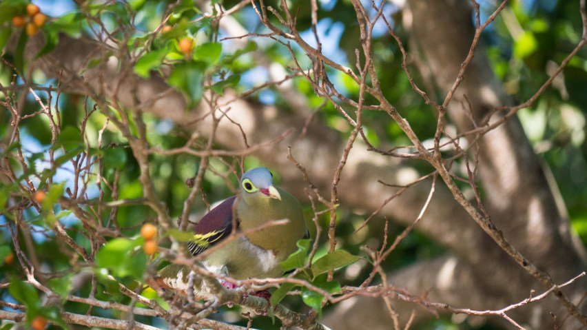 Penang pigeon
