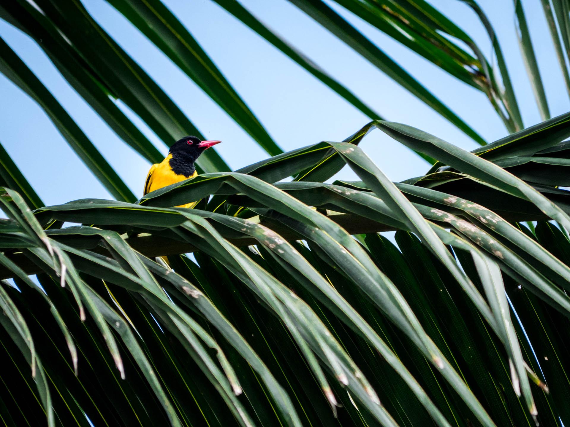 Mirissa oiseau jaune