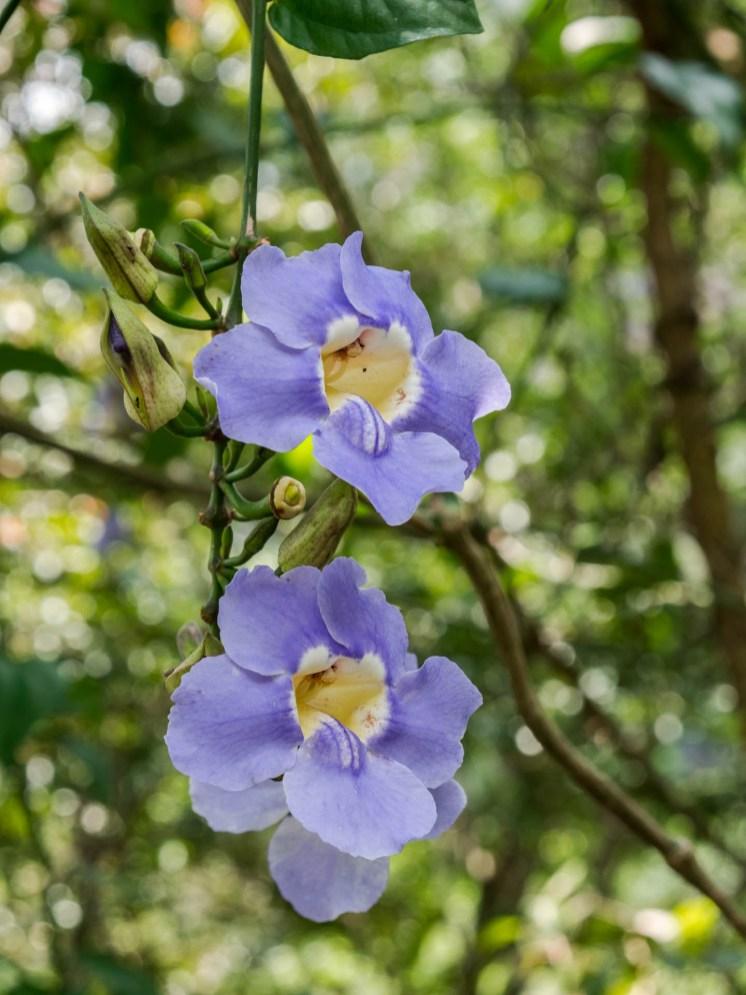 Haputale cascade fleur violette