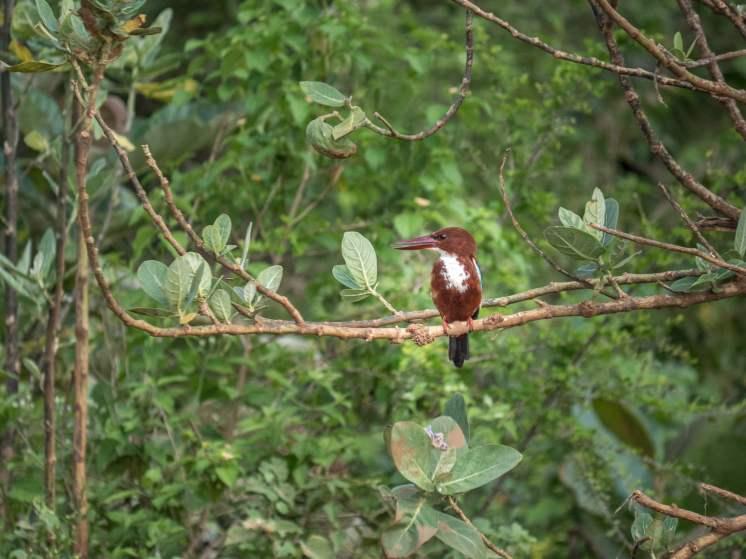 oiseaux rivière walawe-6