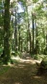 Le sentier passe entre d'immenses arbres appelé Coihue
