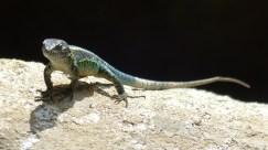 Des lézards aux couleurs vives prennent un bain de soleil sur les rochers