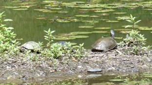 Un joli lac parsemé de nénuphars abrite quelques tortues