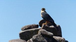 Un aigle profite du panorama avec nous