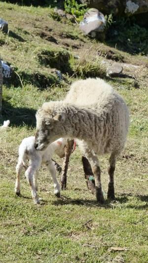 Premiers pas de cet agneau!