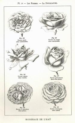1906 Manuel pour la description des rosiers Pl4_wp
