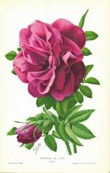 Roseraie de L'Hay (1912 SNHF)_wp