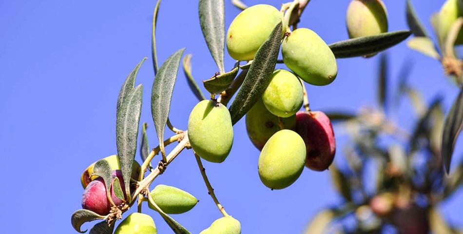 Le squalane, une huile qui peut être d'origine animale, issue du foie de requin, ou d'origine végétale, obtenue à partir de l'huile d'olive