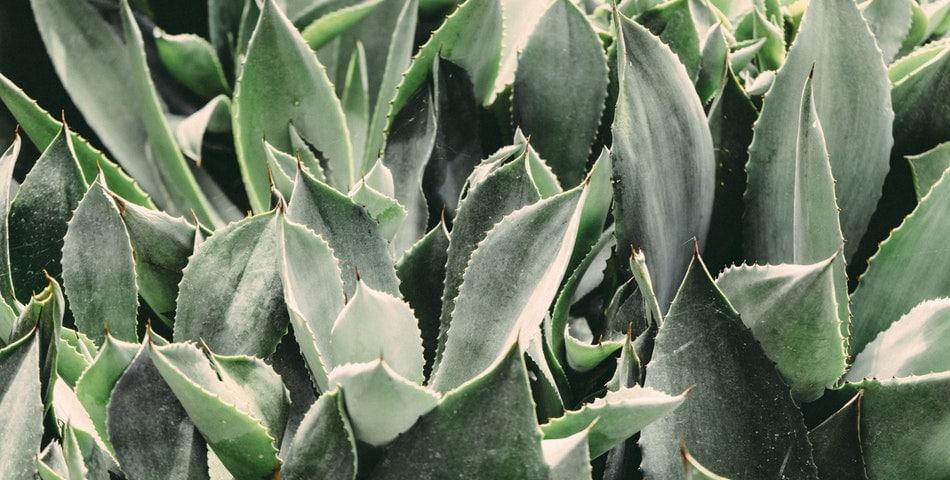 L'Aloe vera, une plante aux multiples bienfaits, très hydratante