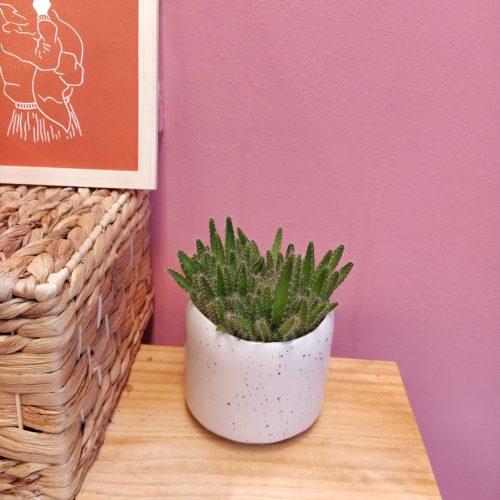 Cactus Hylocereus