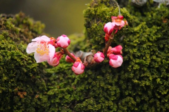 zoom fleur de prunier