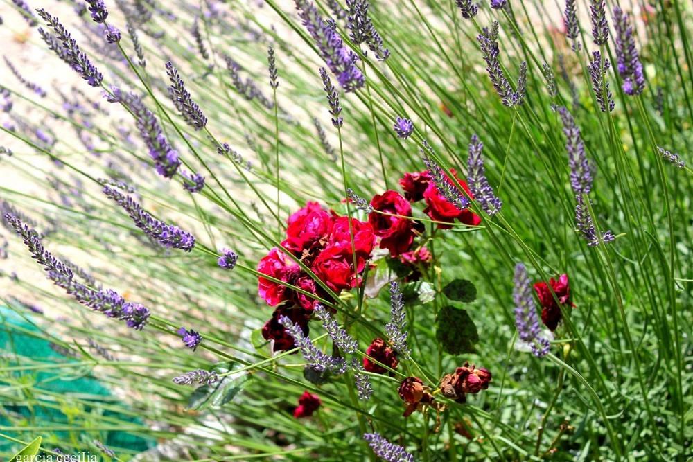 En Provence fleurs et lavande