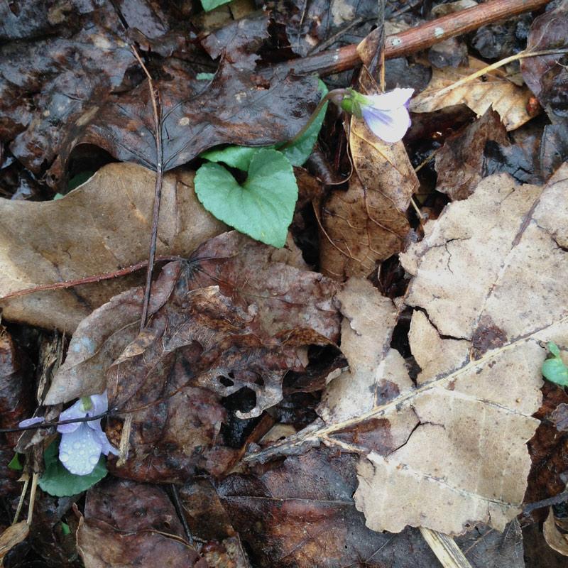 woodland-violets