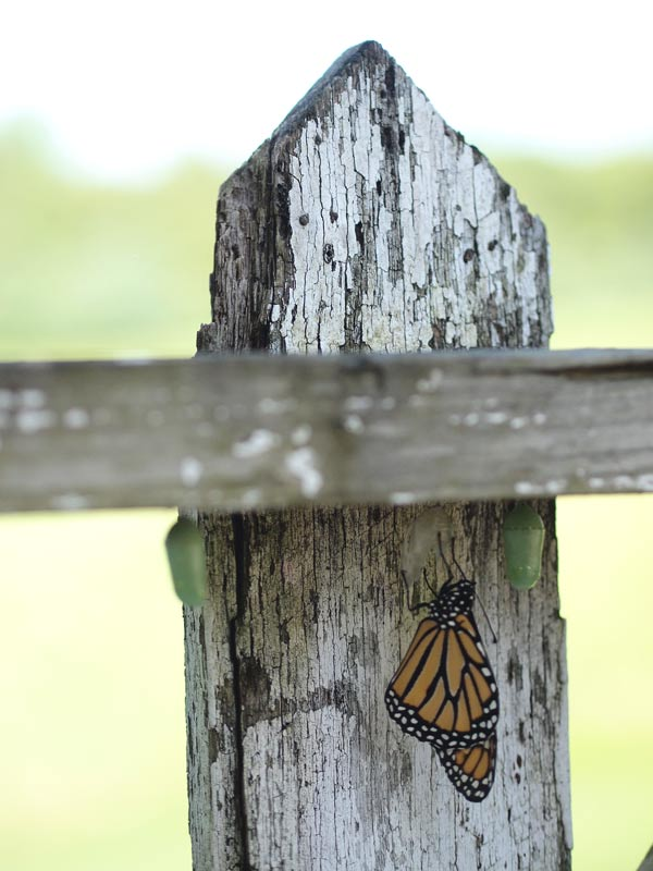 monarch-and-chrysalises-picket