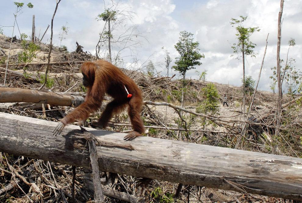 Orangutan walking along tree trunk in area of deforestation for Palm Oil
