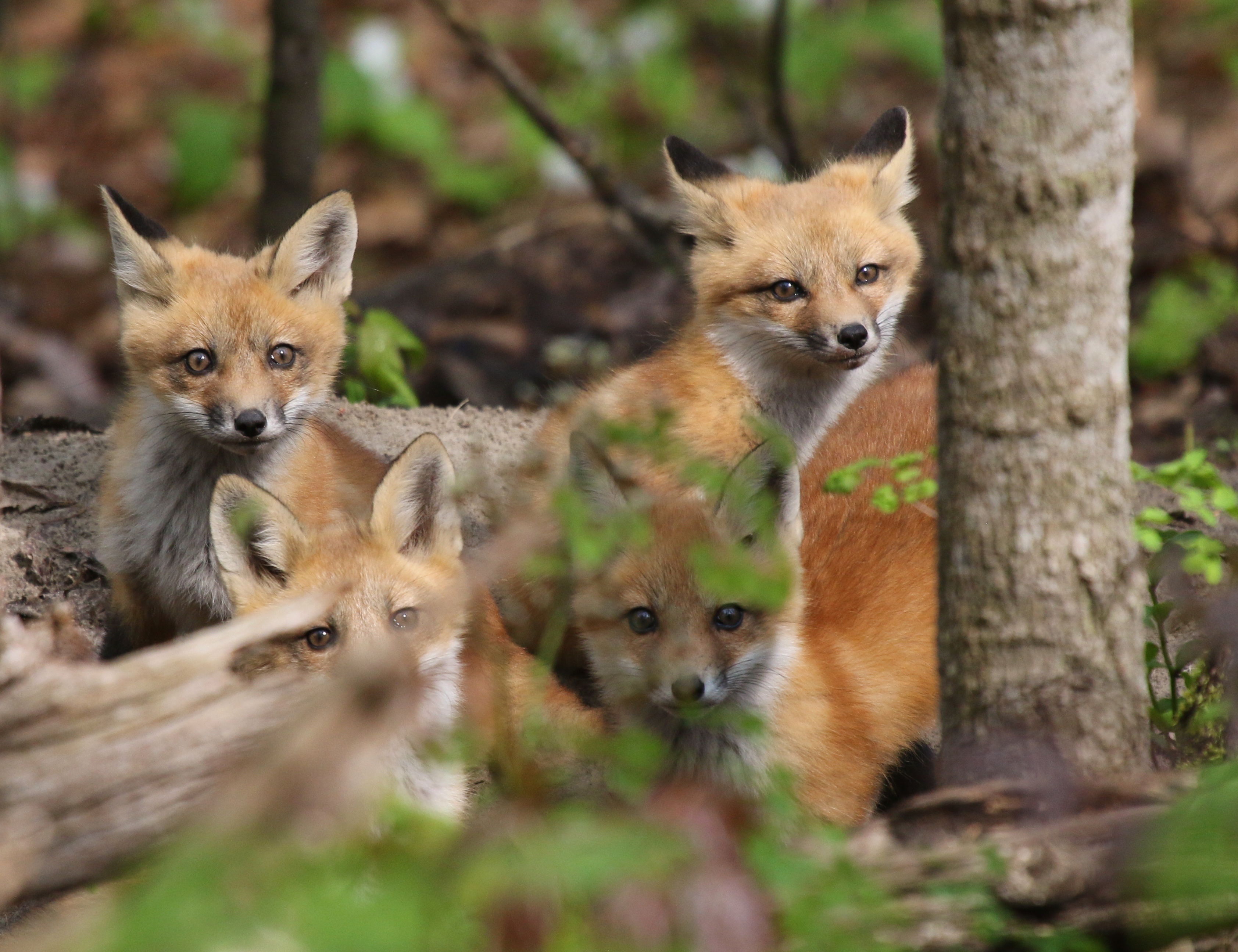 Foxes in the Forest - Leslie Abram Photography
