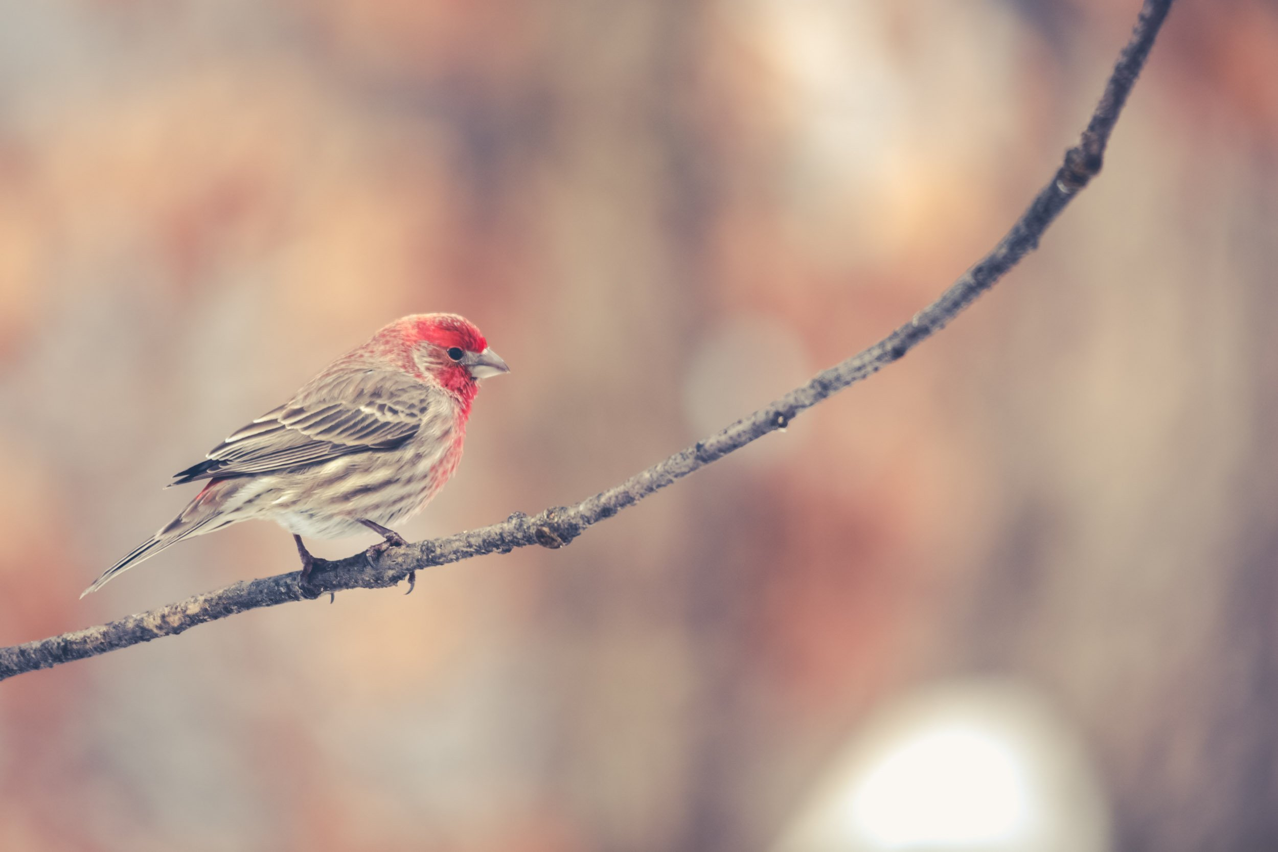 House Finch in a Tree