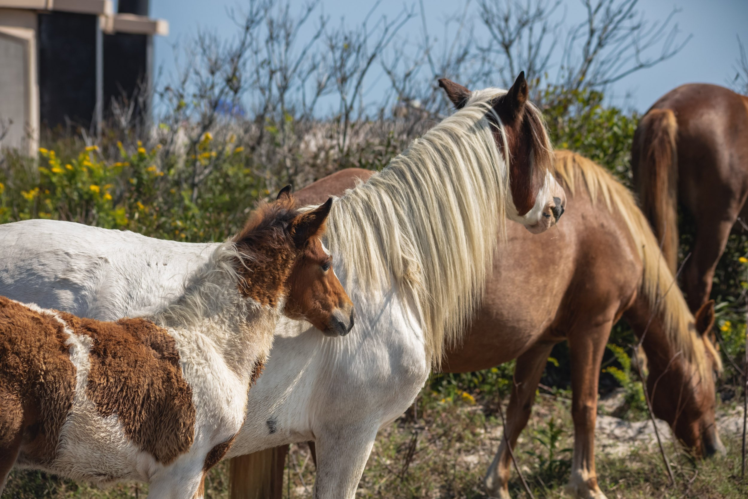 Ponies at Assateague Island National Seashore